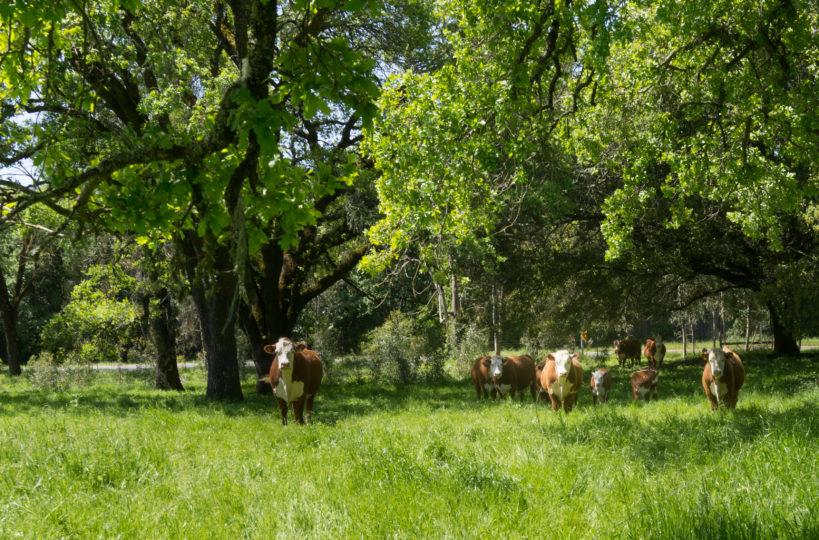 Cows on a biodynamic farm.