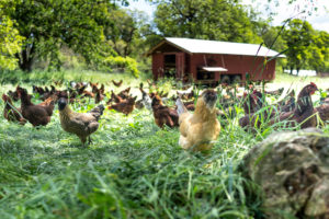chickens on a cannabis farm