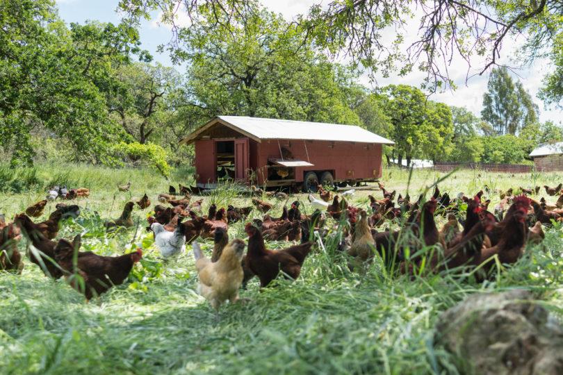 Chickens on a cannabis farm