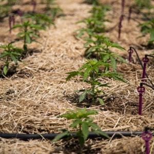 biodynamic cannabis plant in the ground.
