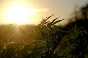 Cannabis in the sunlight