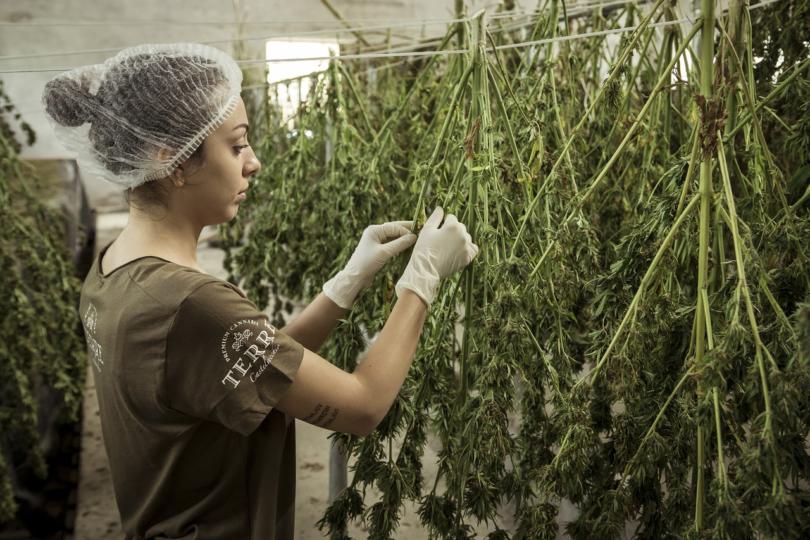 woman working on cbd plant