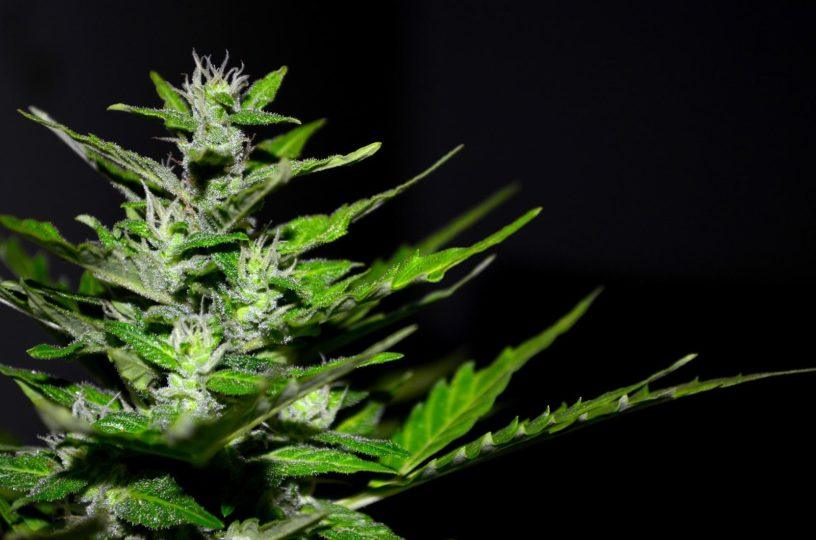 cannabis hemp plant