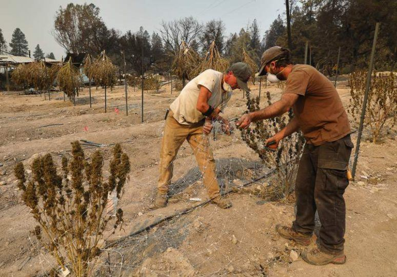 cannabis plants burned from fires