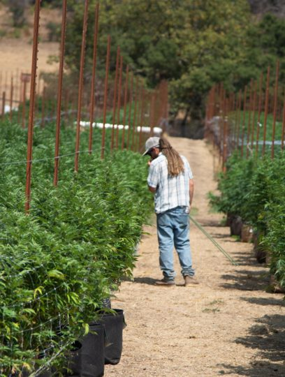 Cannabis Grower at the Farm